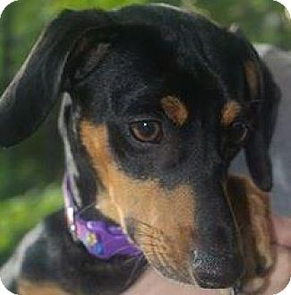 Miniature Pinscher Mix Dog for adoption in Cary, North Carolina - Jax--ADOPTED