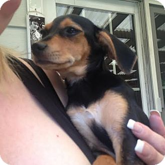 Beagle/Dachshund Mix Puppy for adoption in North Brunswick, New Jersey - Sailor