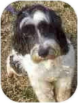 Cockapoo/Cocker Spaniel Mix Dog for adoption in Downey, California - Rosie