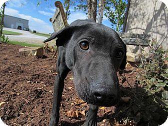 Shar Pei/Labrador Retriever Mix Dog for adoption in Newburgh, Indiana - Maddie