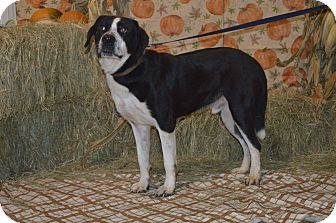 St. Bernard/Border Collie Mix Dog for adoption in Lima, Ohio - Governor
