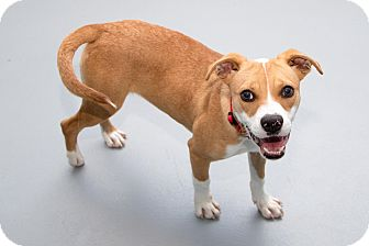 Boxer/Beagle Mix Dog for adoption in Jersey City, New Jersey - Billie Lourd