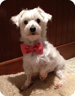 Maltese Mix Dog for adoption in Cincinnati, Ohio - Joey