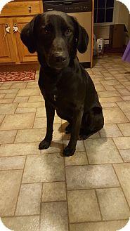 Labrador Retriever Mix Dog for adoption in New Oxford, Pennsylvania - Bentley