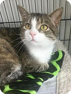 Domestic Shorthair Cat for adoption in Webster, Massachusetts - Buddy