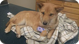 Shiba Inu Puppy for adoption in Loveland, Colorado - Biles