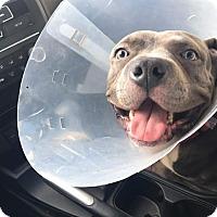 Adopt A Pet :: Ghengis - HIALEAH, FL