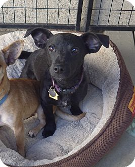 Dachshund/Chihuahua Mix Puppy for adoption in Quail Valley, California - Rosie