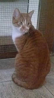 Domestic Shorthair Cat for adoption in Cleveland, Ohio - Tigermoon