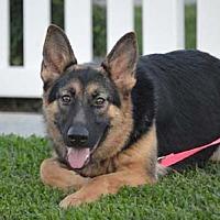 German Shepherd Dog Dog for adoption in Irvine, California - Belle