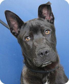 German Pinscher Mix Puppy for adoption in Red Bluff, California - ELIJAH