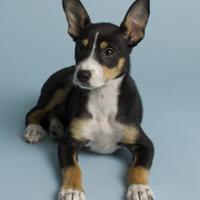 Adopt A Pet :: Diamond - Santa Paula, CA