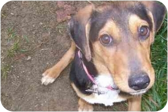 Beagle Mix Puppy for adoption in Ventnor City, New Jersey - HOLLIE