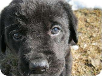 Labrador Retriever Mix Puppy for adoption in Okotoks, Alberta - Barnaby
