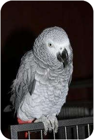 African Grey for adoption in St. Louis, Missouri - Pete
