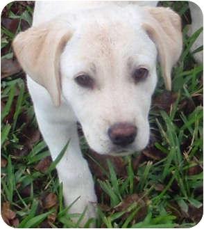 Labrador Retriever Puppy for adoption in Houston, Texas - Riley