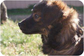 Sheltie, Shetland Sheepdog Mix Dog for adoption in Yuba City, California - Unnamed