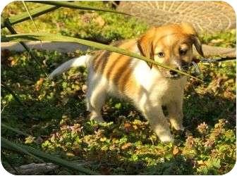 Beagle Mix Puppy for adoption in Harrisonburg, Virginia - Desmond