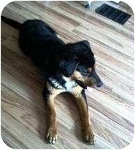 Rottweiler/Shepherd (Unknown Type) Mix Dog for adoption in Proctorville, Ohio, Ohio - Oliver