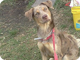 Catahoula Leopard Dog Dog for adoption in Orlando, Florida - Mimi