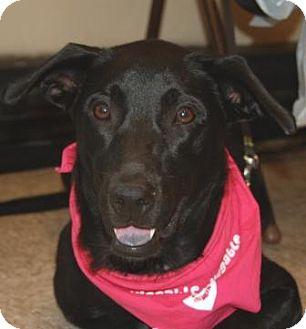 Labrador Retriever Mix Dog for adoption in Houston, Texas - Misty