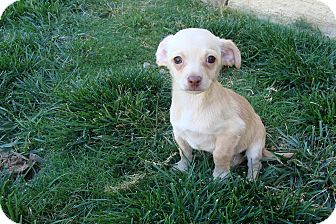 Miniature Pinscher Mix Puppy for adoption in Tustin, California - Sammy