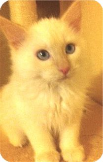 Domestic Mediumhair Kitten for adoption in Schertz, Texas - Fluff N Stuff