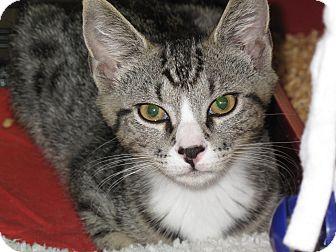 Domestic Shorthair Cat for adoption in Port Republic, Maryland - Wyatt