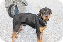 Rottweiler Dog for adoption in Russellville, Kentucky - Scottie