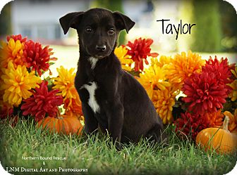 Shepherd (Unknown Type)/Labrador Retriever Mix Puppy for adoption in Southington, Connecticut - Taylor