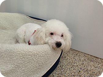 Poodle (Toy or Tea Cup) Mix Dog for adoption in Thousand Oaks, California - Ralphie