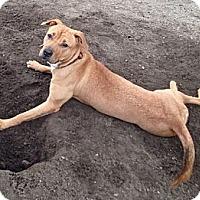 Adopt A Pet :: Nala - Cranston, RI