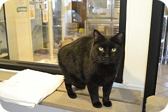 Manx Cat for adoption in Broadway, New Jersey - Salem