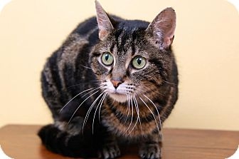 Domestic Shorthair Cat for adoption in Sterling Heights, Michigan - Callie-ADOPTED