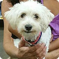 Adopt A Pet :: Cupcake - no shed maltipoo! - Phoenix, AZ