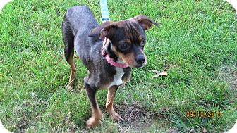 Chihuahua Mix Dog for adoption in Wappingers, New York - Miss Mae