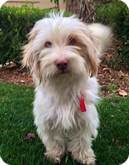 Lhasa Apso Mix Dog for adoption in Irvine, California - COOKIE
