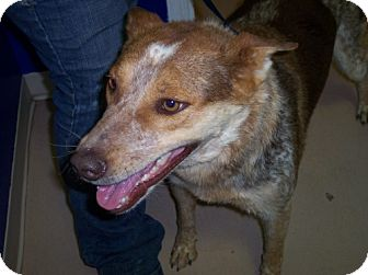 Australian Cattle Dog Dog for adoption in Phoenix, Arizona - JD