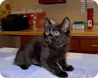 Domestic Mediumhair Kitten for adoption in Medina, Ohio - Sunny Jim