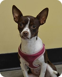 Boston Terrier/Chihuahua Mix Dog for adoption in Larned, Kansas - Bella