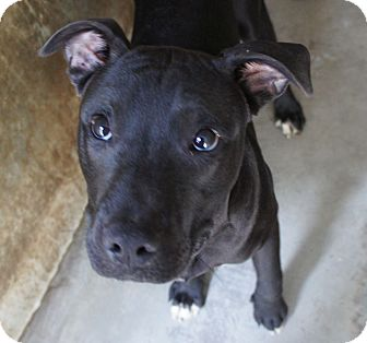 Labrador Retriever/Pit Bull Terrier Mix Puppy for adoption in Henderson, North Carolina - Tom*