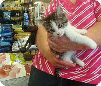 Domestic Shorthair Kitten for adoption in Middleton, Wisconsin - Lily