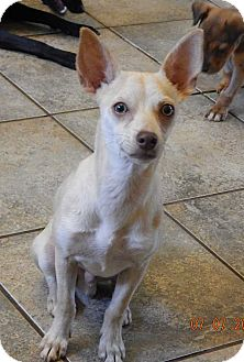 Chihuahua Puppy for adoption in Niagara Falls, New York - Riley (10 lb) Video!