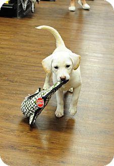 Labrador Retriever/Beagle Mix Puppy for adoption in Brattleboro, Vermont - HIllary