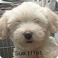 Adopt A Pet :: Sue - Greencastle, NC