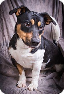 Beagle/Basset Hound Mix Dog for adoption in Anna, Illinois - BAILEY