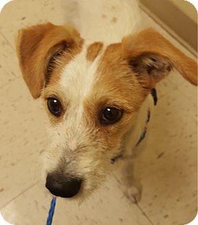 Jack Russell Terrier Puppy for adoption in San Antonio, Texas - Dasher in San Antonio