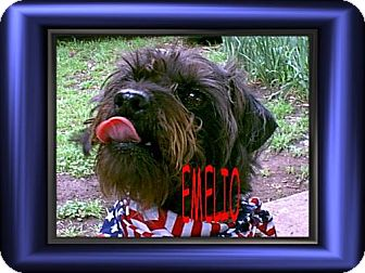 Poodle (Miniature)/Pug Mix Dog for adoption in Cushing, Oklahoma - x EMELIO adopted