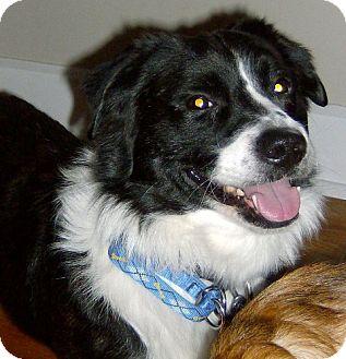 Pug/Australian Cattle Dog Mix Dog for adoption in Winfield, Pennsylvania - Bradley