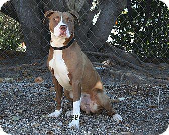 Pit Bull Terrier Mix Dog for adoption in Santa Barbara, California - Bodee